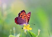 Bươm bướm kén vợ | Đọc truyện cổ tích Andersen