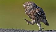Chim hồng tước và con cú | Đọc truyện cổ tích Grim