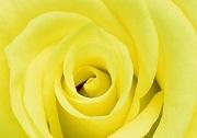 Truyền thuyết Hoa hồng Vàng | Truyện cổ tích thế giới chọn lọc
