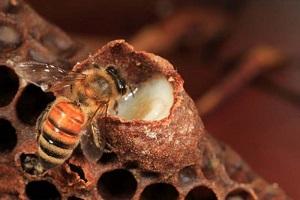Truyện cổ grim: ong chúa