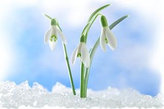 sự tích hoa tuyết