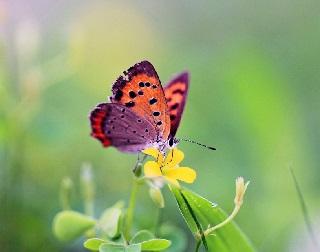 bươm bướm kén vợ